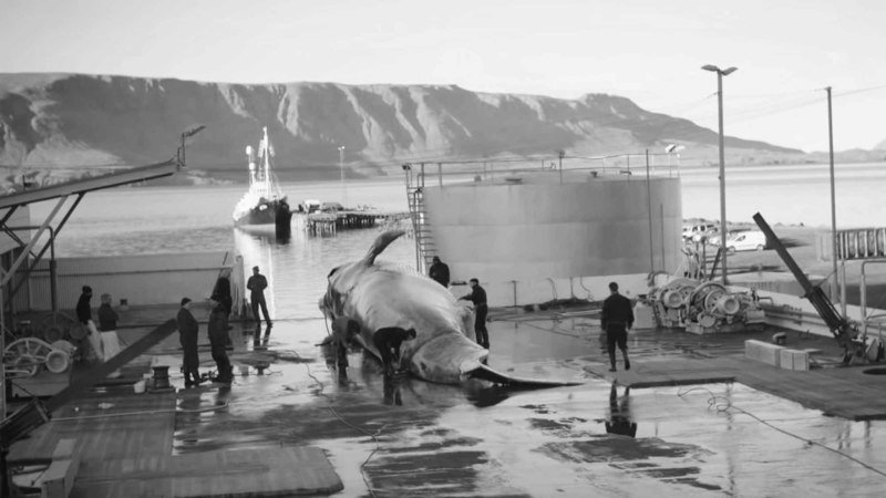 Read more about the article Tell Iceland Killing Whales Is Not Better Than Tourism